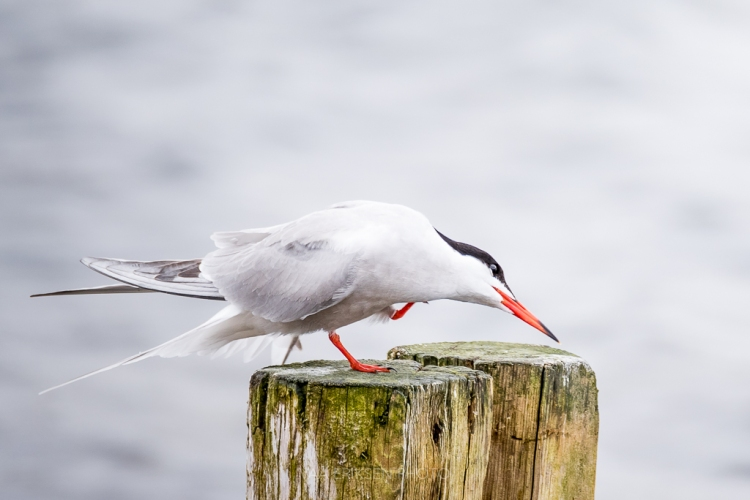 Arctic Tern Norway