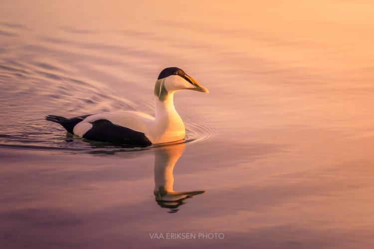 Duck Stavanger Norway