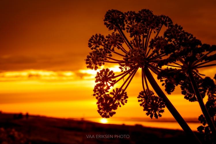 Blomst i solnedgang